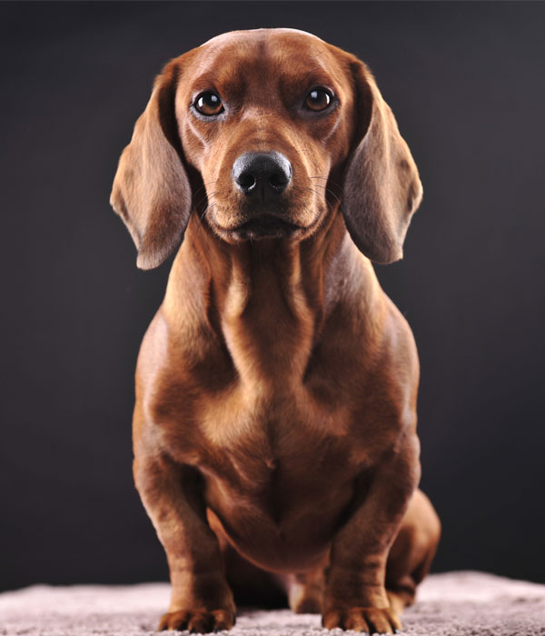 Dachshund pet dog portrait