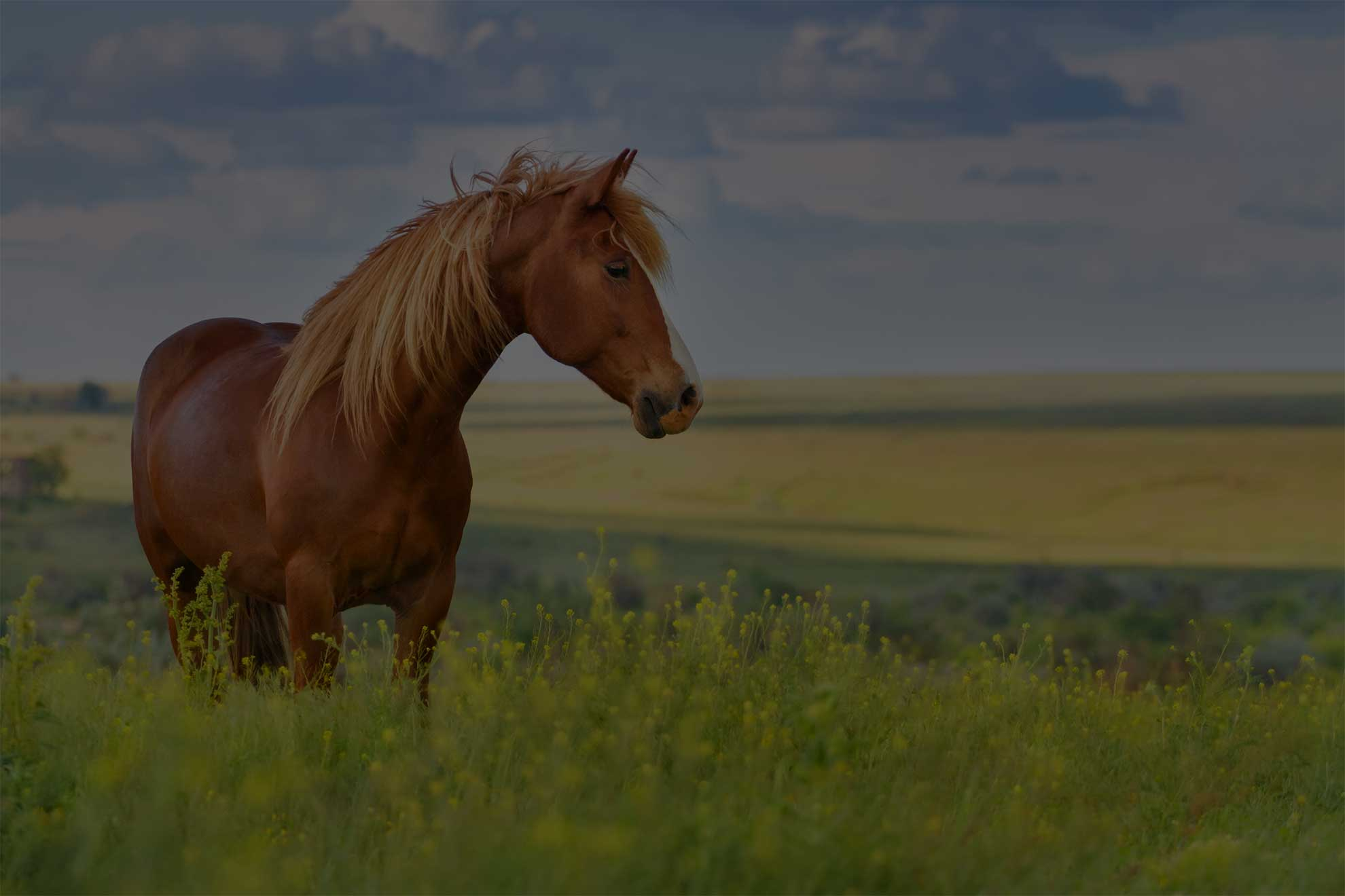Red horse with long mane in flower field against sky