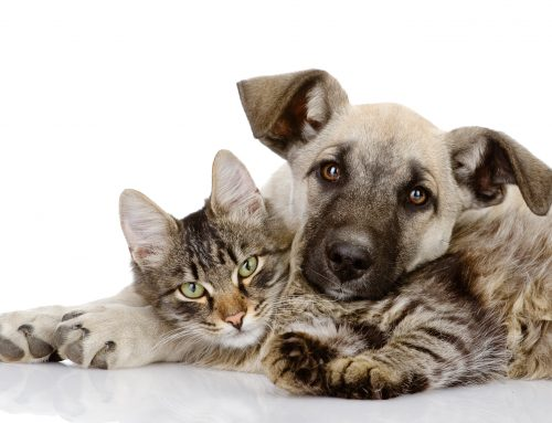 Chocolate Toxicity in Dogs & Cats (Ellen Neal, DVM)